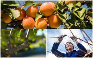 Сроки и виды обрезки абрикоса, схемы и способы формирования кроны