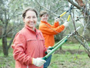 Когда и как правильно обрезать яблоню, можно ли формировать крону летом