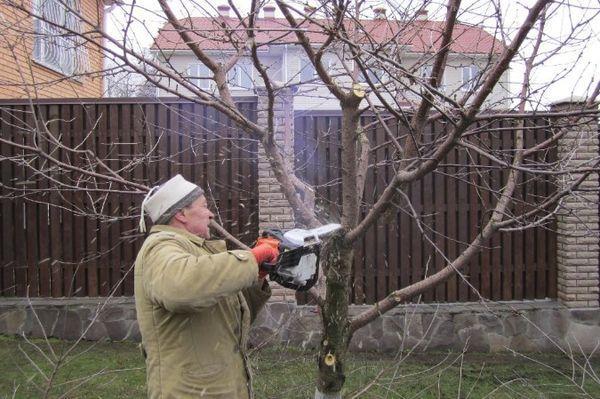 Омоложение яблони