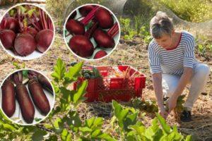 Выращивание и уход за свеклой в открытом грунте, пошаговая агротехника