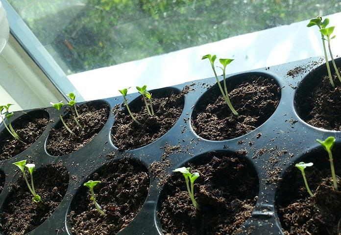 семена мяты