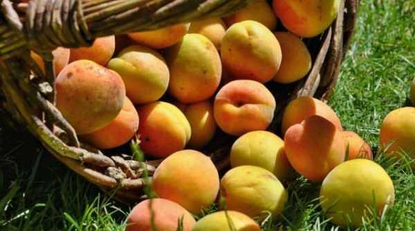 морозостойкие абрикосы
