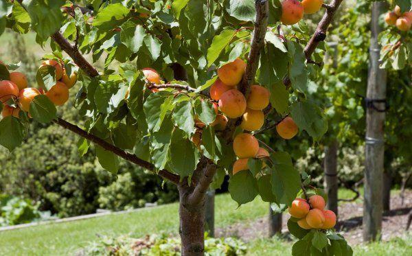 абрикосы на участке