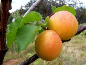Причины, почему может не плодоносить абрикос и что делать