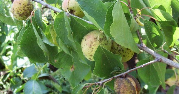 Заболевания абрикоса