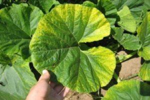 Почему у тыквы начали желтеть листья и что с этим делать, методы борьбы