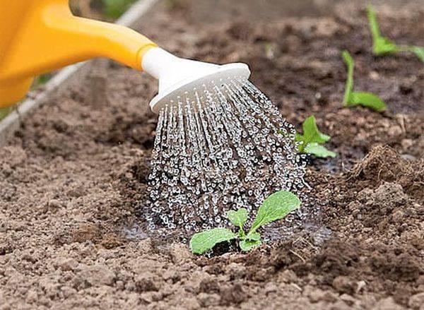 полив дынь в открытом грунте