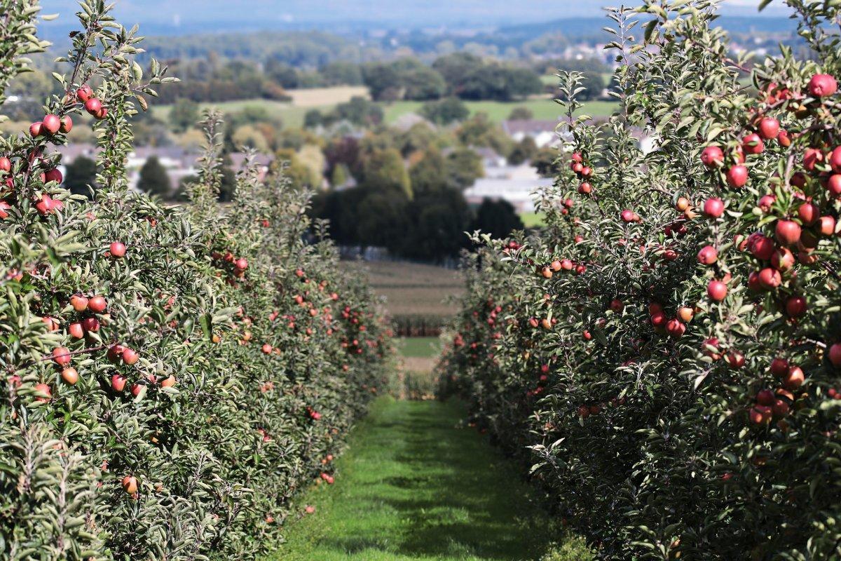много яблони