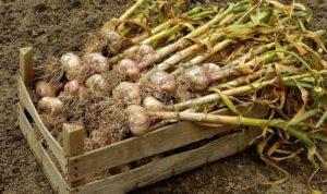 Когда нужно выкапывать чеснок в Саратовской области и других регионах