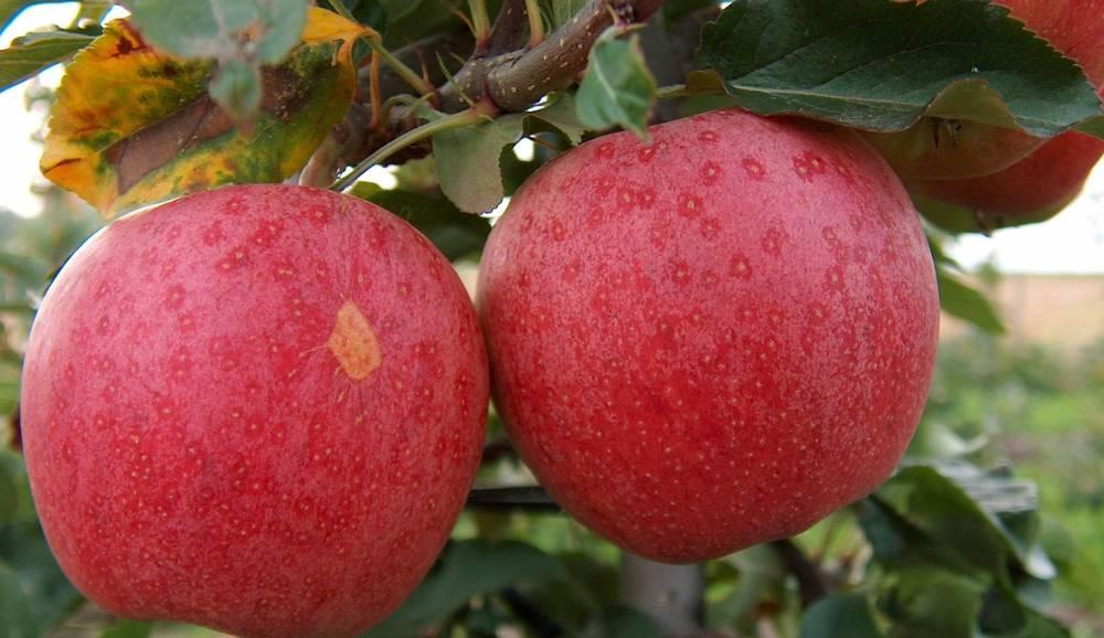 спелая яблоня