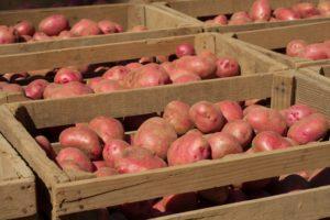 Описание и характеристика сорта картофеля Красавчик, посадка и уход