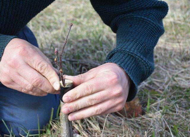 прививки плодоносных деревьев