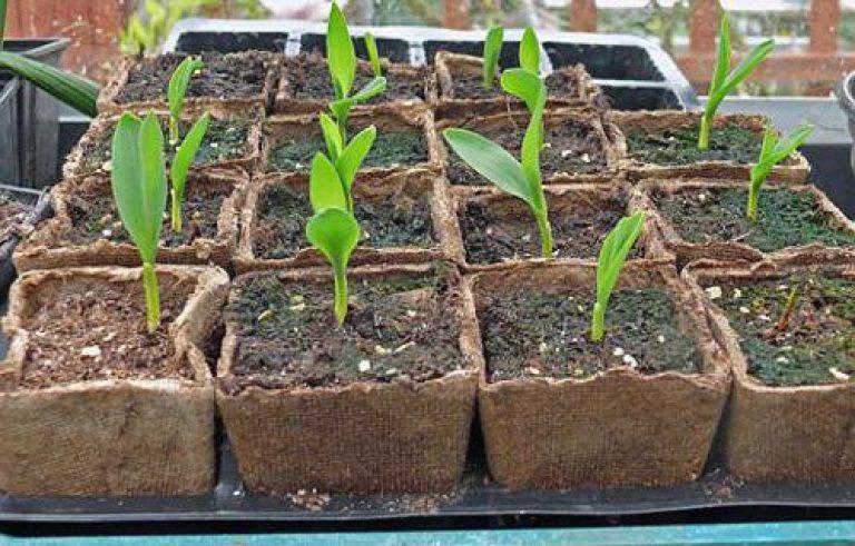 росада кукурузы