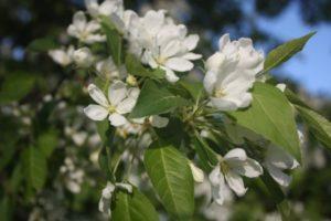 Почему вишня не плодоносит и что с этим делать, частые причины и методы решения