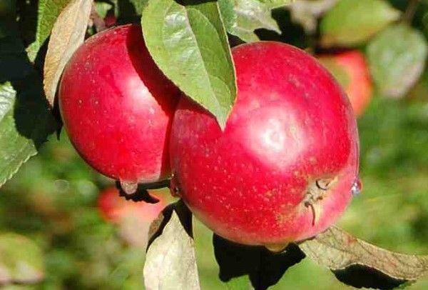 яблоня свердловская