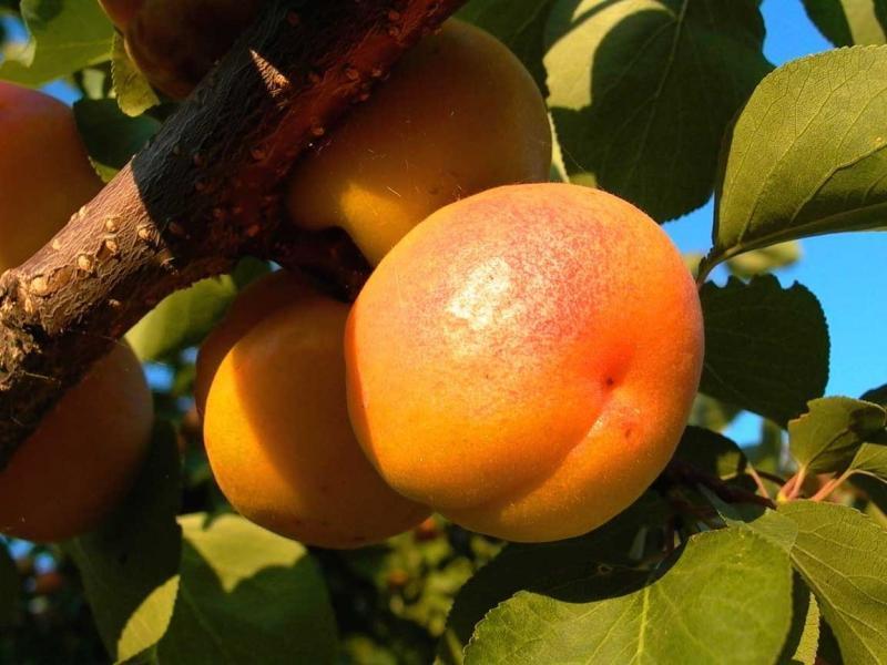 абрикосы в подмосковье