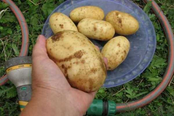 сорт картофель