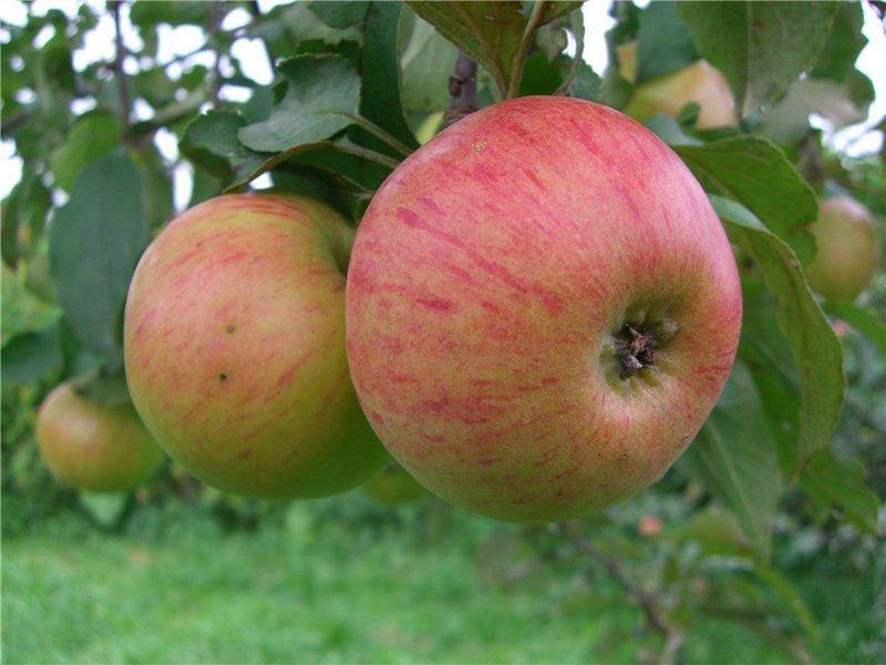 яблоня меденица