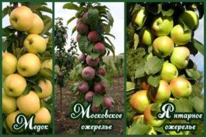 Описание 10 лучших сортов колоновидных яблонь для Подмосковья, посадка и выращивание