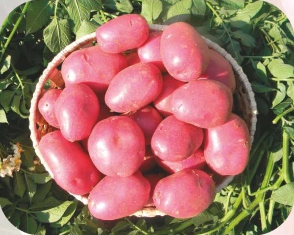 куст картошки