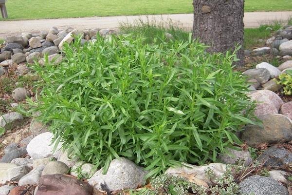 тархун трава