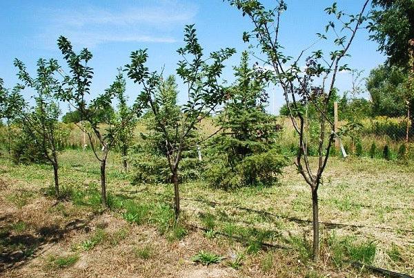 сад вишни тургеневка