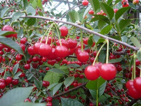 вишня в саду