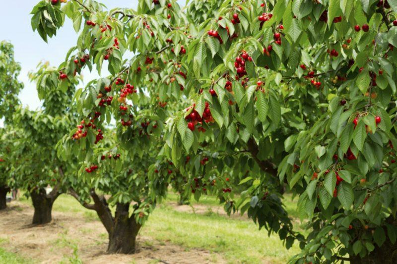 сад вишни
