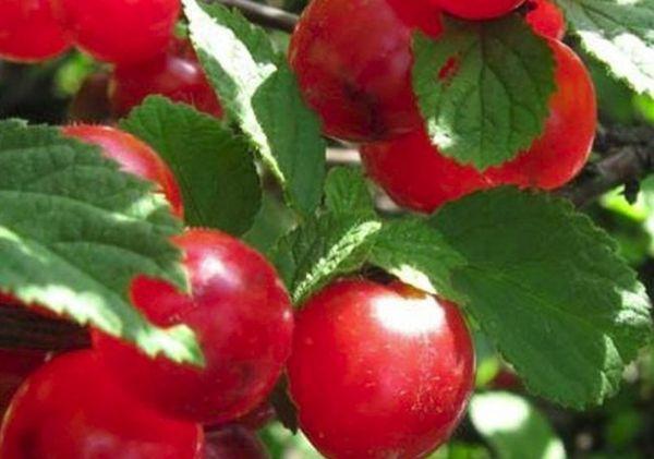 красная вишня