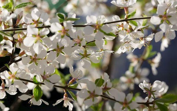 Цветение войлочной вишни