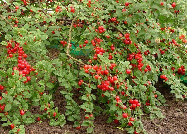 куст с ягодами