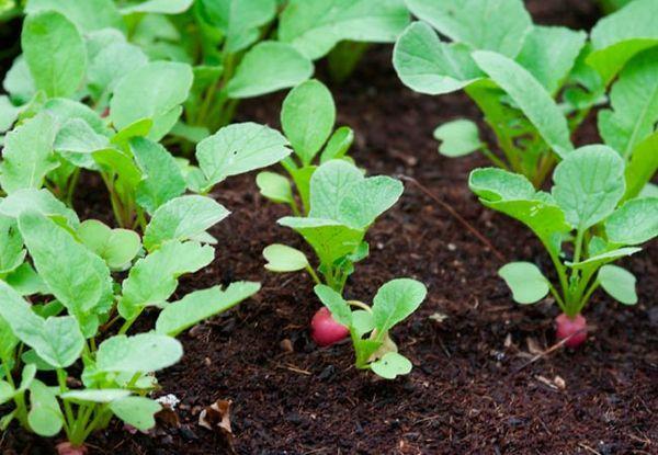Выращивание редиски
