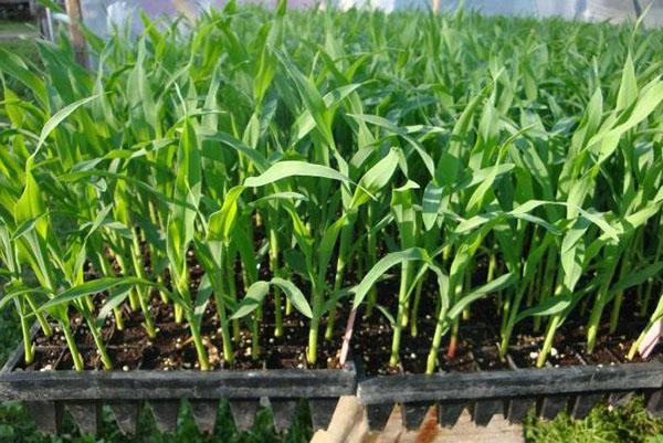 огород кукурузы