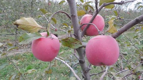 яблоня на участке