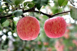 Описание и характеристика яблони сорта Фуджи, посадка и уход