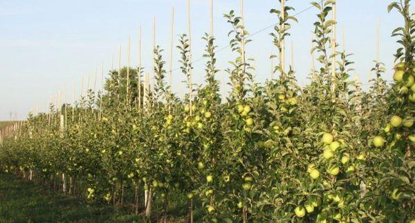 саженцы яблони Голден