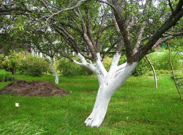побелка яблони