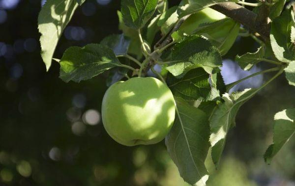 плод яблони
