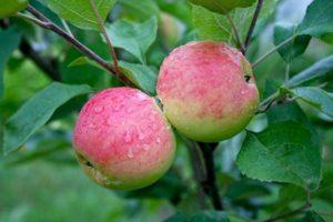 Описание и характеристики яблони Мантет, посадка и уход