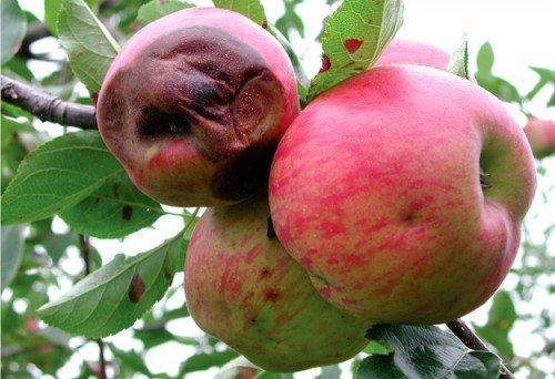 гниют яблоки