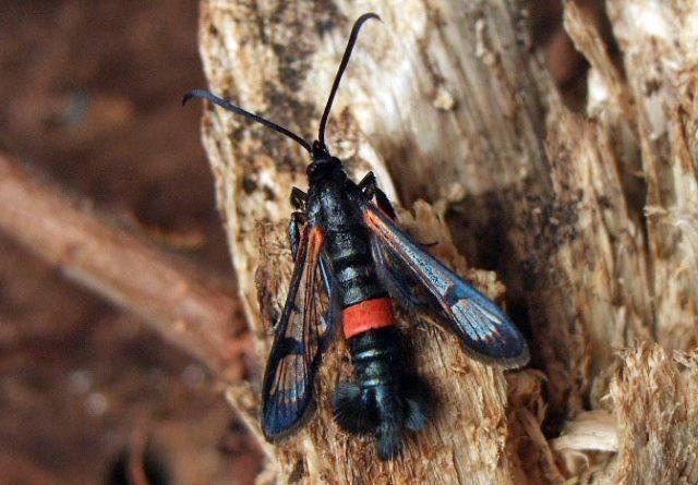 бабочка вредитель