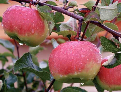 много яблок