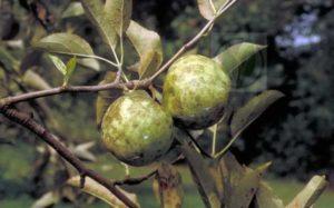 Причины и лечение черных пятен на листьях яблонь, как бороться с болезнью