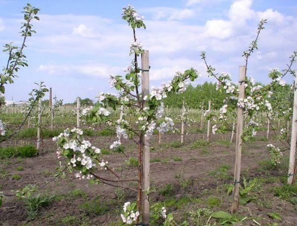 Яблони карликового подвоя