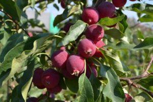 Характеристика разновидности яблонь Китайка и описание 15 лучших сортов