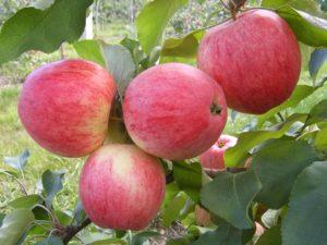 Описание яблони сорта Медуница, посадка и уход за летним и зимним видом