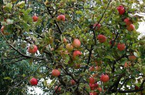 Характеристики и описание яблони сорта Конфетное, опылители и уход