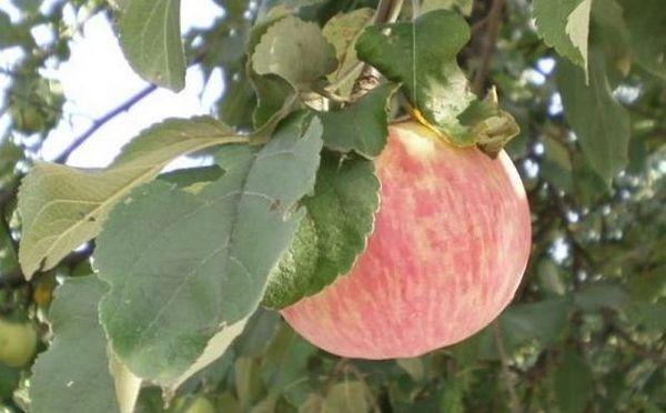 плодовое яблоко