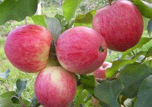 Описание и характеристики яблони сорта Лобо, посадка и уход