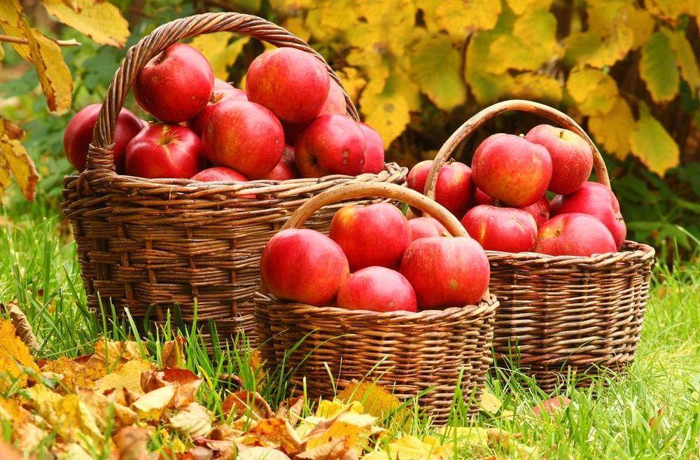 яблоня на даче